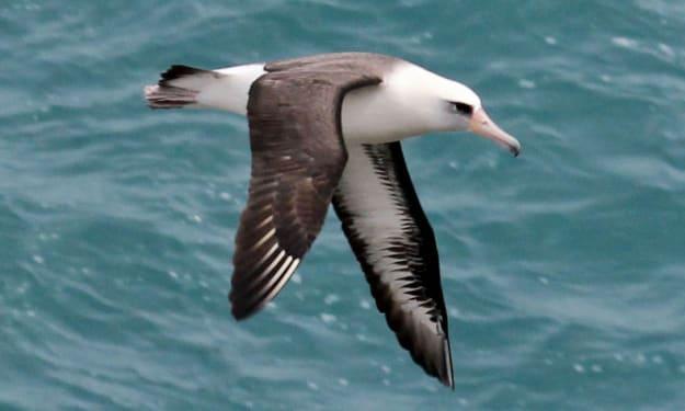 The Laysan Albatross