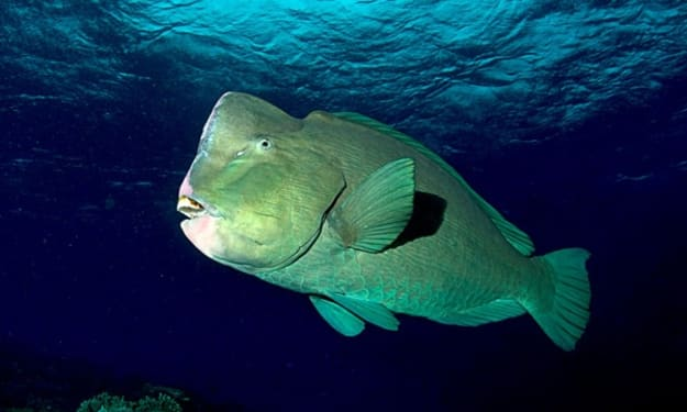 Bumphead Parrotfish - Shaping our beaches