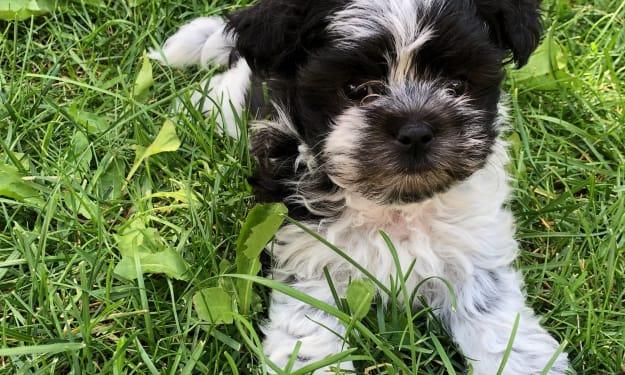Meet my dog, Indigo Blue