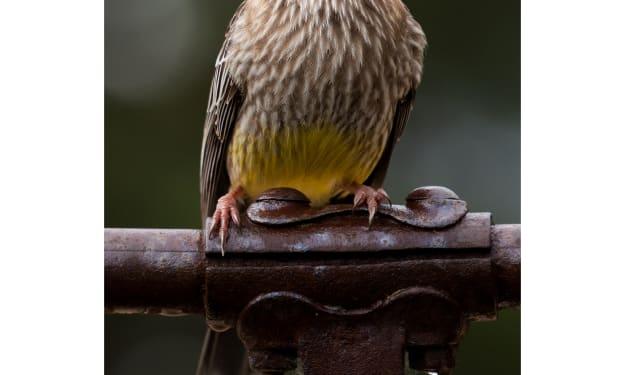 The Wattle Bird