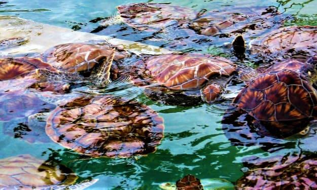 Sea Turtle Crossing