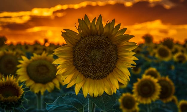 The sunflower in my garden...