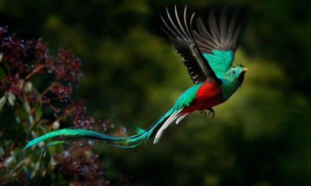 Costa Rica's Resplendent Quetzal