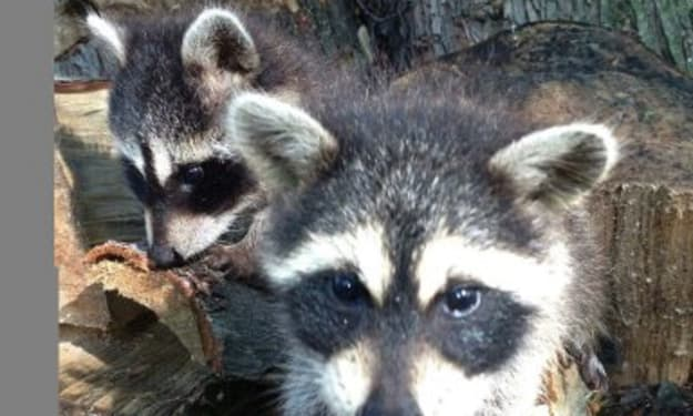 5 Things A Raccoon Taught Me About Life