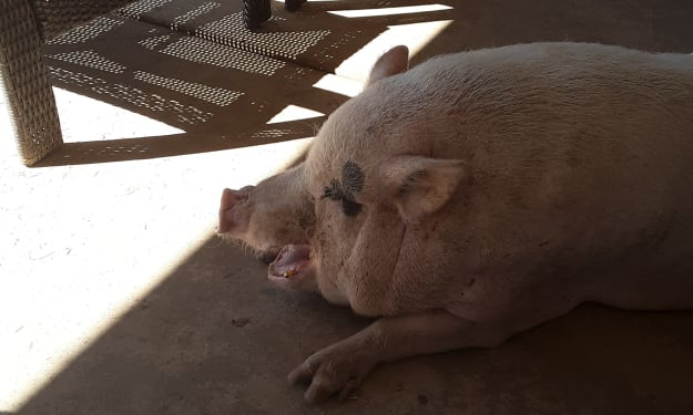 Potbellied pigs are loose in the streets!