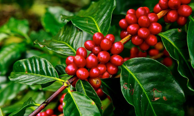 The Art, Skill & Science of Growing Costa Rican Coffee. .