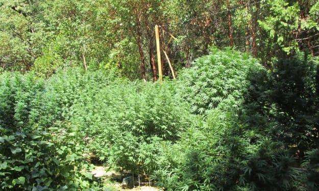 Birth of Two Cannabis Farmers