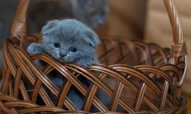 The Kitten Basket