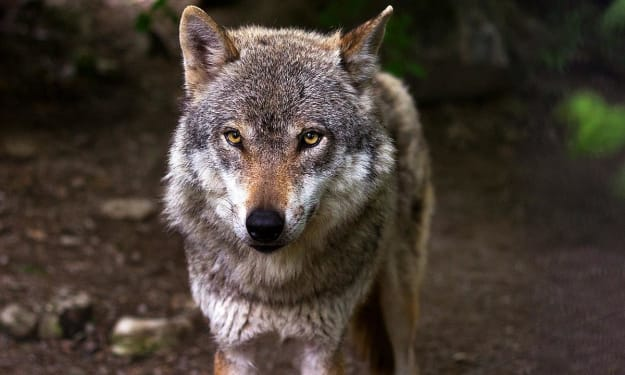 What do you know about wolves?
