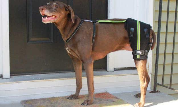 Special Dogs With Suspected Hip Dysplasia