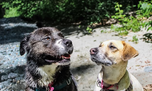 Should You Foster Rescue Dogs?