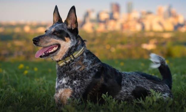 Australian Cattle Dog - The Canine Velociraptor