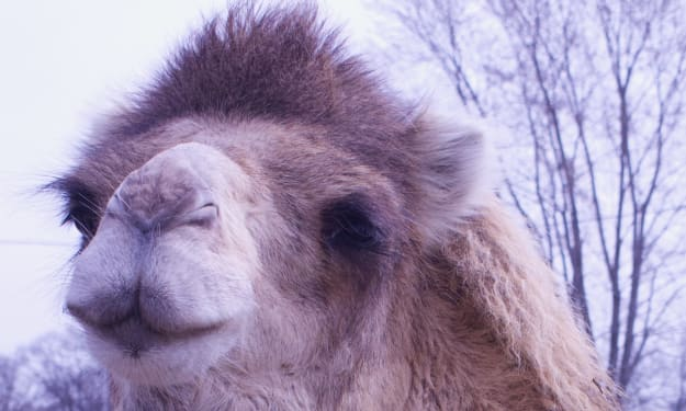 Artificial Insemination in Racing Camels hits its stride