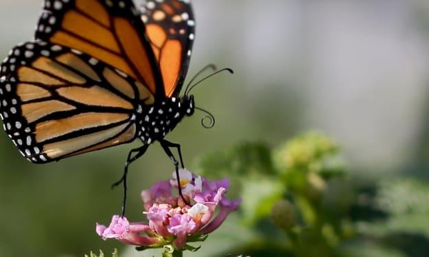 Racist Butterflies