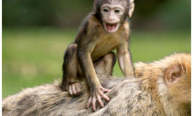 Bongo the Toxic Monkey