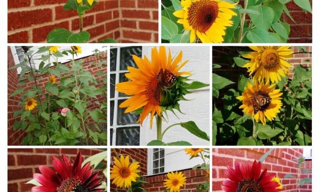 Faith in the Sunflowers