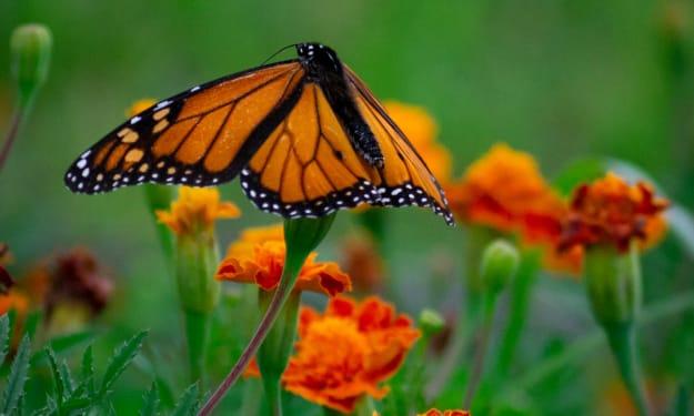 A Butterfly Flower
