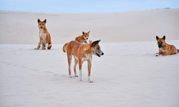 Dingo Dreams