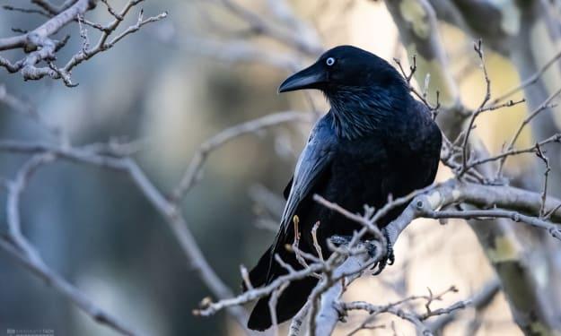 Stalking Crows