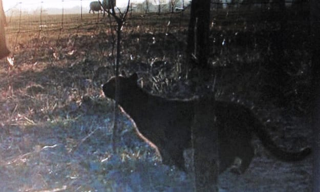 Big Cats in Britain – New Trail Cam Photo Evidence and Dead Body of Puma Killed on UK Road
