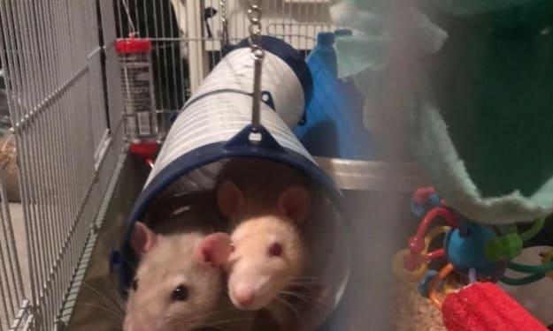 Owning Pet Rats