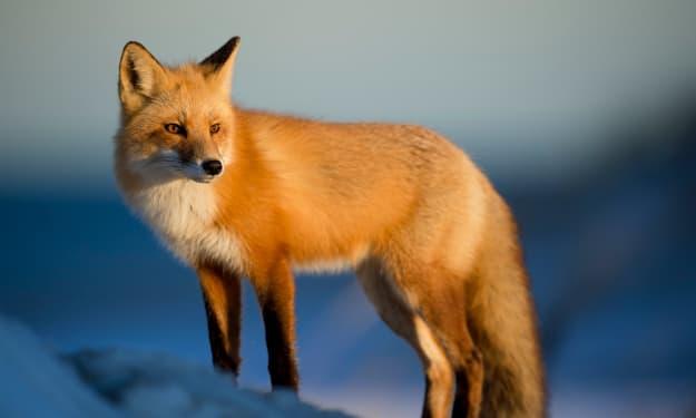 The Fox Feast