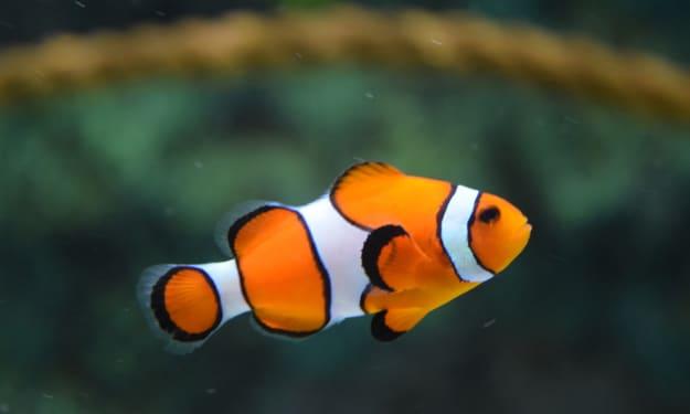 I'm Just a Little Clownfish