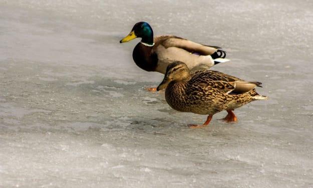 Oh, those poor duckies