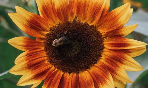Sunflowers and Bees and Quiet Minds