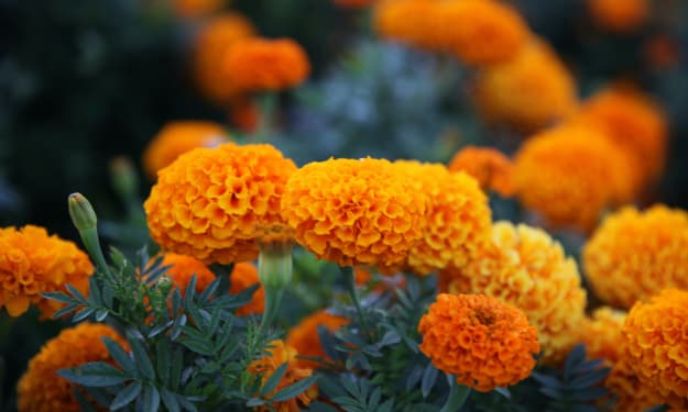 How A Marigold Flower Saved Me from a Mental Breakdown