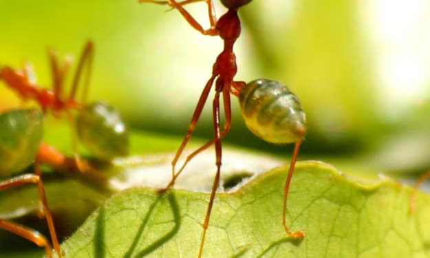 ESCAPE OF THE GREEN ANTS