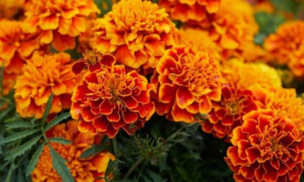 She did love marigolds