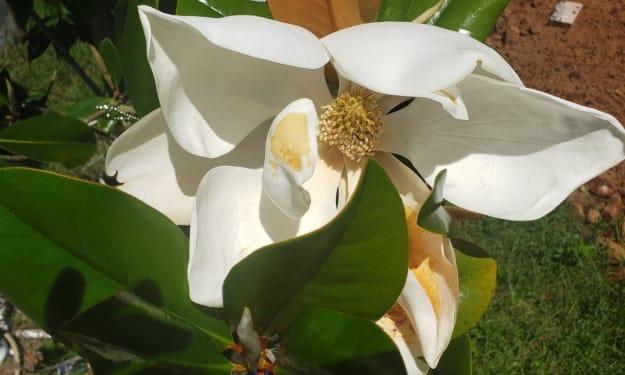 Sunshine and Magnolia flowers.