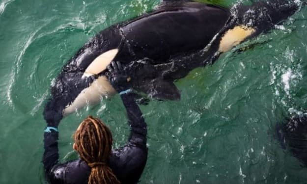 A Tale of Two Rescues: How Experience and Resources Derived From Marine Mammal Facilities Drives Success in Whale Stranding Operations.