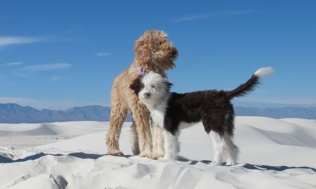 Everybody Wants a Goldendoodle