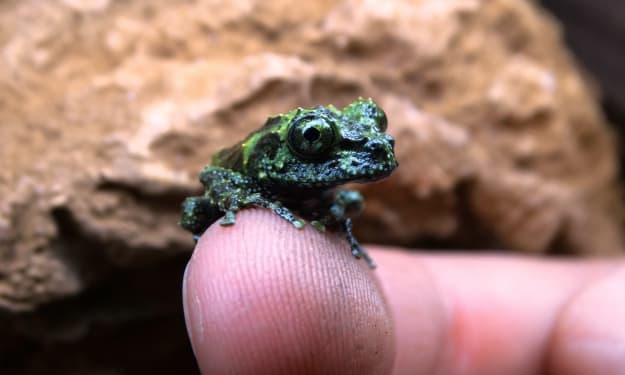 Breeding Vietnamese Mossy Frogs