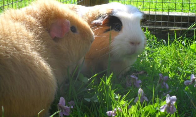 Crazy Guinea Pig Lady Writes a Book About Her Critters