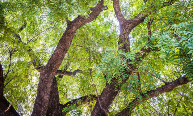 The Neem Tree Issue Patenting — Unimarks