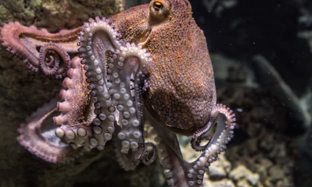 Eating One of the Most Dangerous Foods in the World — Live Octopus