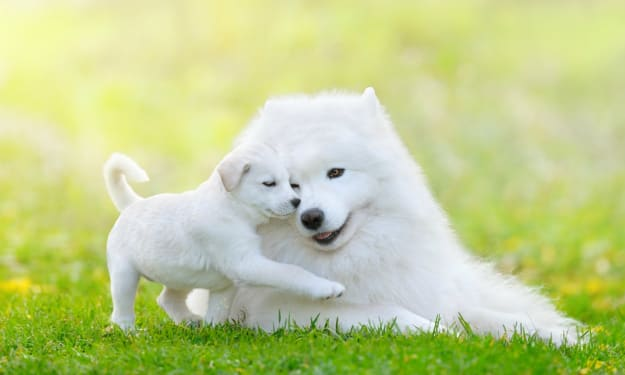 Best Hypoallergenic Large Dogs