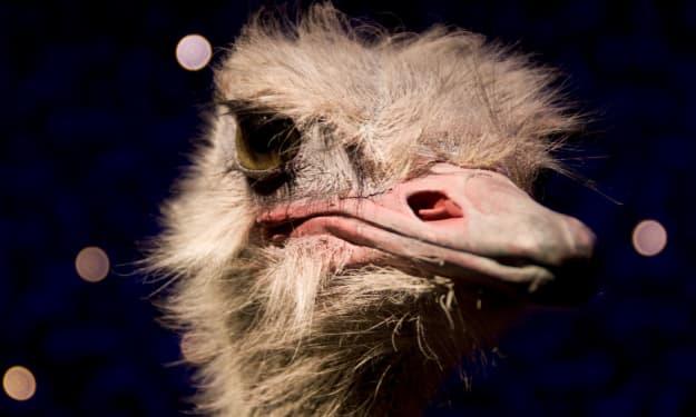 American Ostrich