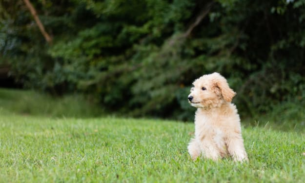 Why You Should Consider Buying a Goldendoodle