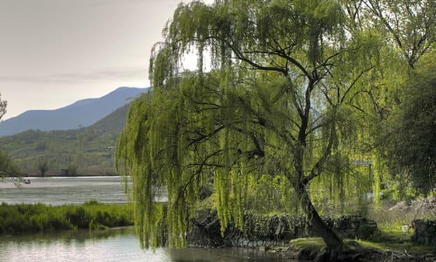 Ms. Willow Tree
