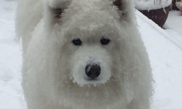 Gigi the Samoyed-Dire-Wolf-Polar-Bear