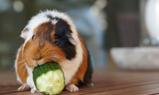 Why Guinea Pigs Make Fantastic Pets