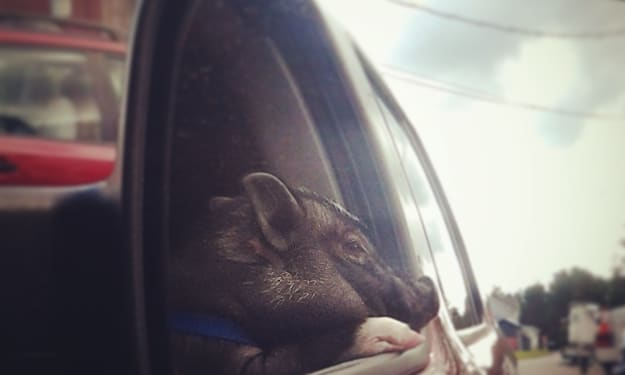 The Year I Owned a Pot Belly Pig