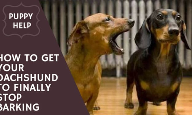 How to Get Your Dachshund to Finally Stop Barking