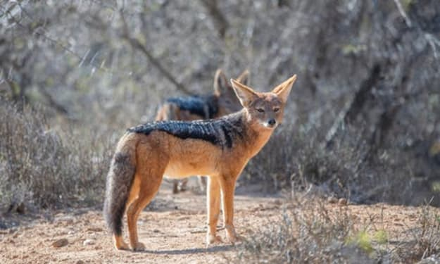 The Wandering Fox (Pt. 2)