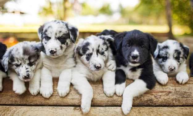 Understanding Genetics for Dog Breeders