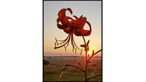 American Tiger Lily